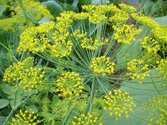 Kopr vonný (Anethum graveolens) je rostlina z čeledi miříkovitých