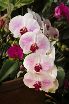 Orchid by Jim Meehan Phalaenopsis Orchid, Orchid Plants, Cactus Plants, Rare Plants, Exotic Plants, Plant Fungus, Growing Orchids, Orchid Care, Blooming Plants