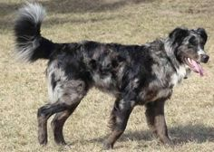 Australian Retrievers are a mix between a Golden Retriever and an Australian Shepherd.  They are loyal, playful, energetic and highly intelligent.
