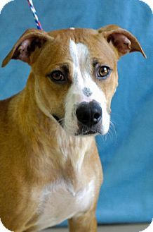 URGENT! High kill shelter! Pictures of arella a Pit Bull Terrier Mix for adoption in Johnson City, TN who needs a loving home.