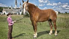 This is Big Jake. The tallest horse in record. Measuring at 20 hands!