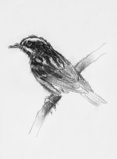 Striped warbler, Artist Sean Briggs producing a sketch a day, prints available at https://www.etsy.com/uk/shop/SketchyLife #art #bird #drawing #http://etsy.me/1rARc0J