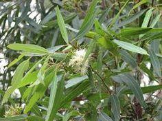 účinky eukalyptu