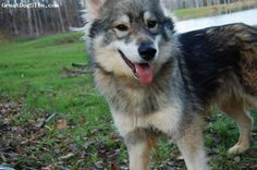 Google Image Result for http://cdn.greatdogsite.com/resources/photos/from_owners/Tamaskan%2520Dog-watermarked-1235016927.jpg