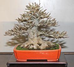 japanese maple bonsai - Sök på Google