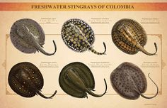 Juan Calle - Fresh water stingrays of Colombia