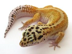 Red Stripe Leopard Gecko does not have a red stripe. Oh well...