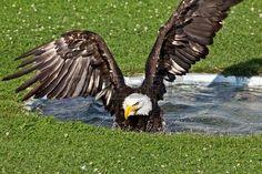 American Eagle Taking A Bath