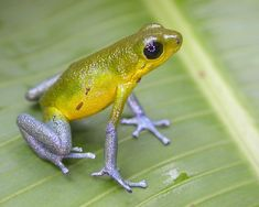 "Photo : Grenouille ""Oophaga Pumilio Cayo de Agua"""