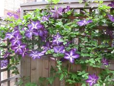 clematis violacea sichtschutz kletterpflanze holz gitter