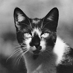 Black And White Cat Close Up