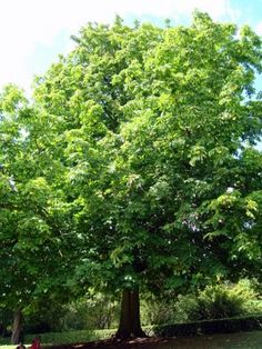 """Horse chestnut tree / ATTRACTS: Red Bellied Woodpeckers.  """"Skookum""""- best tasting.  SWARMING WITH HUMMINGBIRDS!  Hulls are painful and prickly, plant in a secluded area.  NEVER PLANT NEAR PAVED AREAS OR FOUNDATIONS, SURFACE ROOTS CAN RAISE AND CRACK PAVEMENT OR FOUNDATIONS!"""