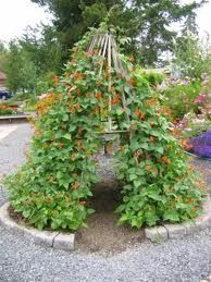 Scarlett runner tipi -- could do this with our green beans this summer!
