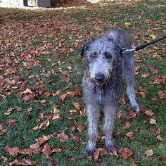 heididahlsveen:  #byhund #10 LadyRose 8 måneder #skotskhjortehund #hund #dog