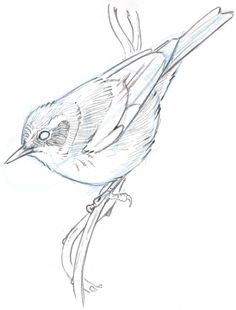 Learn To Draw How to Draw an Orange-crowned Warbler step-by-step - John Muir Laws - Learn how to draw a bird with this step-by-step tutorial using pencil and watercolor. Bird Drawings, Easy Drawings, Animal Drawings, Pencil Drawings, Bird Pencil Drawing, Drawing Birds, Pencil Art, Bird Illustration, Little Birds