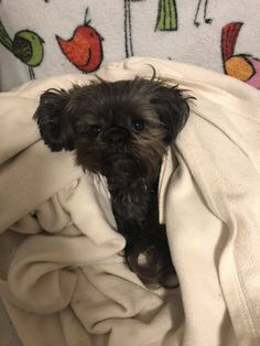 Quality ShihTzu for quality homes for Pets and Therapy dogs. We offer LIFETIME advice for your Glory Ridge ShihTzu. Imperial shihtzu to standard size shihtzu in every color. Therapy Dogs, Shih Tzu, Dog Love, Puppies, Pets, Animals, Cubs, Animales, Animaux