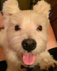 All smiles cuddling on the couch with sis!! #cuddlebuddy #cuddletime #cuddlebug #dog #dogsofinstagram #dogs #dogstagram #doglover #dogoftheday #doggy #doglovers #dogslife #doglife #westie #westiegram #westiesofinstagram #westies #westielove #westiemoments #westiesarethebest #westiepuppy #westielover #westietude #westielife #ilovemydog #ilovemylife #instadog #instagramdogs #puppy #followme