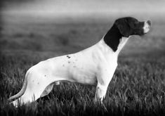 chiens de france pointer | Chien - Elevage de l'Escalayole - eleveur de chiens Pointer