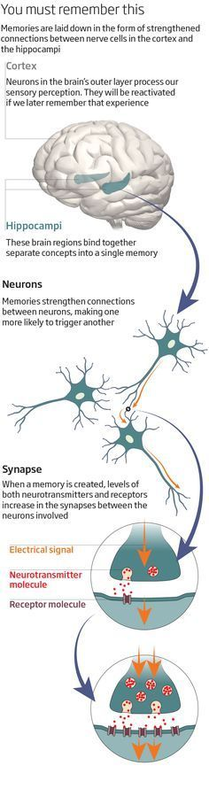 Info graphic Memories are not just about the past: they are what thought and self are made of. <b>Clare Wilson</b> visits the brain brain's vaults to find out how they actually work Brain Anatomy, Anatomy And Physiology, Brain Science, Science Education, Health Education, Physical Education, Music Education, Life Science, Computer Science