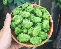 Learn about the medicinal benefits of hops and how to make hop tea. Hops have many health benefits and are perfect for adding to your herbal apothecary! Beer Recipes, Home Recipes, Veggie Recipes, Herbal Remedies, Natural Remedies, Hops Plant, Edible Wild Plants, Herbal Teas, Herbs Indoors