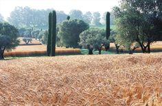 Evergreen columns set against giant squares of russet grasses   Fernando Caruncho