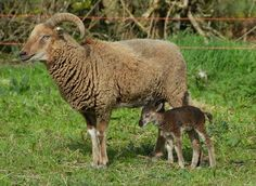 Castlemilk Moorit rare breed ewe and lamb from the Loopy Ewes flock Sheep Breeds, Sheep And Lamb, Baby Goats, Lambs, Drawing Ideas, Mothers, Lord, Babies, Knitting