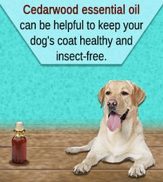 Cedarwood essential oil is beneficial for dogs