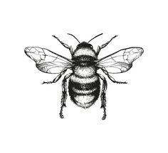 Vector engraving illustration of honey bee on white background Top 60 Honey Bee Clip Art, Vector Graphics and Illustrations - iStock<br> Vector engraving illustration of honey bee on white background Tattoos, Art Tattoo, Drawings, Cute Tattoos, Ink Drawing, Flower Drawing, Bee Drawing, Engraving Illustration, Diy Tattoo