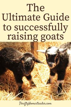 How To Raise Goats: Natural Goat Care for Meat, Milk and Profits in Your Backyard - Tools And Tricks Club Breeding Goats, Goat Pen, Goat Care, Nigerian Dwarf Goats, Raising Goats, Goat Farming, Baby Goats, Hobby Farms, Livestock