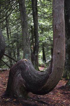 Smiling tree, Bruce Peninsula National Park, Tobermory (Canada)