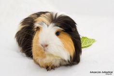guinea pig :) | Flickr - Photo Sharing!