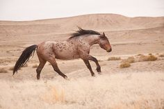 Wild Loping Red Roan Mustang on the Open Plains. All The Pretty Horses, Beautiful Horses, Animals Beautiful, Cute Animals, Horse Love, Horse Girl, Clydesdale, Appaloosa, Wild Mustangs