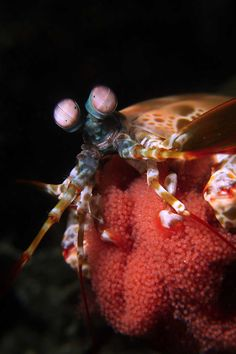 Mama by Alan Lo: This is a behaviour shot of mantis shrimp carrying eggs, It usually hiding in their hole & it's very unusual to come out.   naturesbestphotography.asia #Mantis_Shrimp