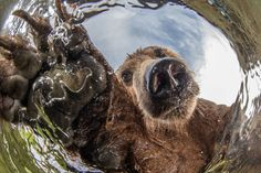 Grin and bear it! Family of brown bears pose and play with camera after spotting hidden lens in the water - Mirror Online Sweet Hug, Brother Bear, Love Bear, Selfie Poses, Bear Cubs, Just Friends, Dogs Of The World, Nature Animals, Funny Cute