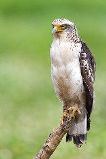 Crested serpent eagle( Spilornis cheela)カンムリワシ