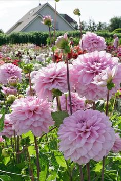 In einem zarten Rosa blüht die Dahlie 'Homey' von Anfang Juli bis zum ersten Frost im Oktober. Gepflanzt werden ihre Knollen nach den Eisheiligen Mitte Mia. #Dahlie #Dahlie #Knolle #Garten #Sommer #Beet #Pflanzzeit