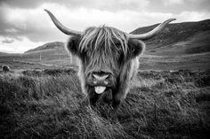 Living room art?? Highlands cow
