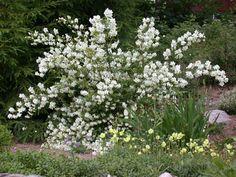 Loistojasmike ´Tähtisilmä´ on erittäin talvenkestävä, tuuhea ja terve pensas. Sen isot puhtaanvalkeat, miedosti tuoksuvat kukat avautuvat kesäkuun lopulla. Loistojasmike viihtyy aurinkoisella tai puolivarjoisalla paikalla tavallisessa puutarhamaassa. Se istutetaan näkyvälle paikalle yksittäin, ryhmään tai aidanteeksi. Leikataan säännöllisesti vanhat oksat kevättalvella tai kukinnan jälkeen. Sietää myös alasleikkauksen.
