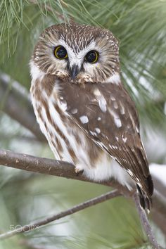 """Northern Saw-Whet Owl"" by Jack Fortier on Saw Whet Owl, Funny Owls, Beautiful Owl, Wise Owl, Baby Owls, Wild Birds, Squirrel, Cute Animals, Wildlife"