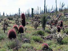 FEROCACTUS GRACILIS (pink cactus)