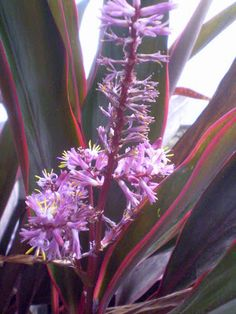 Cordyline fruticosa is one of those rare beings: a pretty face attached to a great personality. It's not the easiest plant to grow indoors,. Easy Plants To Grow, Growing Plants Indoors, Chlorophytum, All Flowers, Crazy People, Potted Plants, Pretty Face, House Plants, Outdoor Gardens