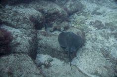 Duiken met roggen in Tenerife het hele jaar door. Nederlands duikcentrum padi 5 star.