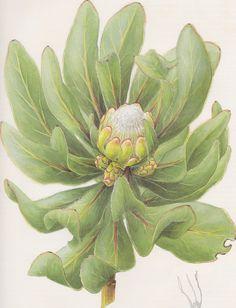 foreverinbloom:  protea foliosa scientific illustration by fay anderson