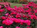 knock out roses.... would be great for bordering the side of the house ( as well as in or outside of the privacy fence)