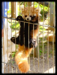 Aww — this young Red Panda looks like a plush toy! Too cute...