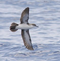 "Audubon's (Tropical) Shearwater ""Riga"" between Mahé and Praslin Islands, Seychelles 2013"
