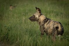 Wild dogs as seen on safari at Sabi Sabi Private Game Reserve