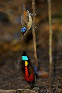 Wilson's Bird-of-paradise (Cicinnurus respublica) Синеголовая великолепная райская птица