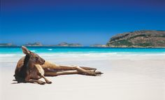 A Kangaroo relaxing on the beach in Lucky Bay, near Esperance in Western Australia.