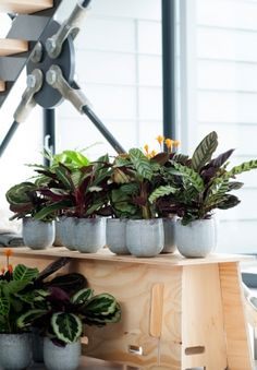 Calathea is a special, highly-decorative houseplant with colourful, variegated foliage Foliage Plants, Potted Plants, Indoor Plants, Interior Garden, Interior Plants, Rare Plants, Exotic Plants, Cool Plants, Green Plants